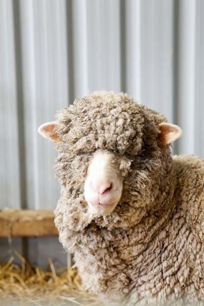 Merino from Romney Marsh Wools. Image: www.matildarosephotography.com
