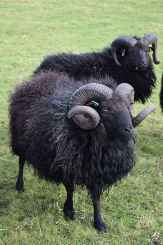 Hebridean-Tup