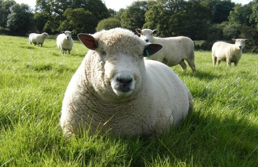 Dorset Sheep. image courtesy of Woolly Chic