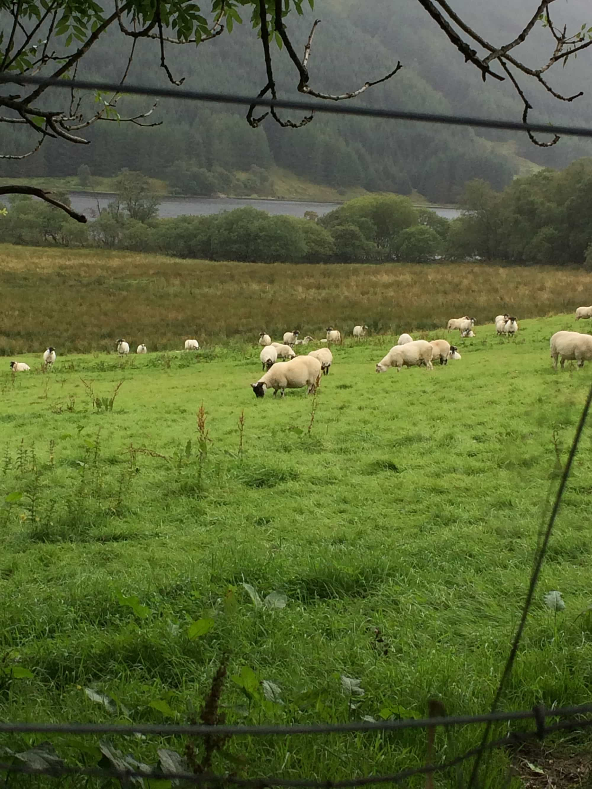a field of black face sheep taken through a fence.