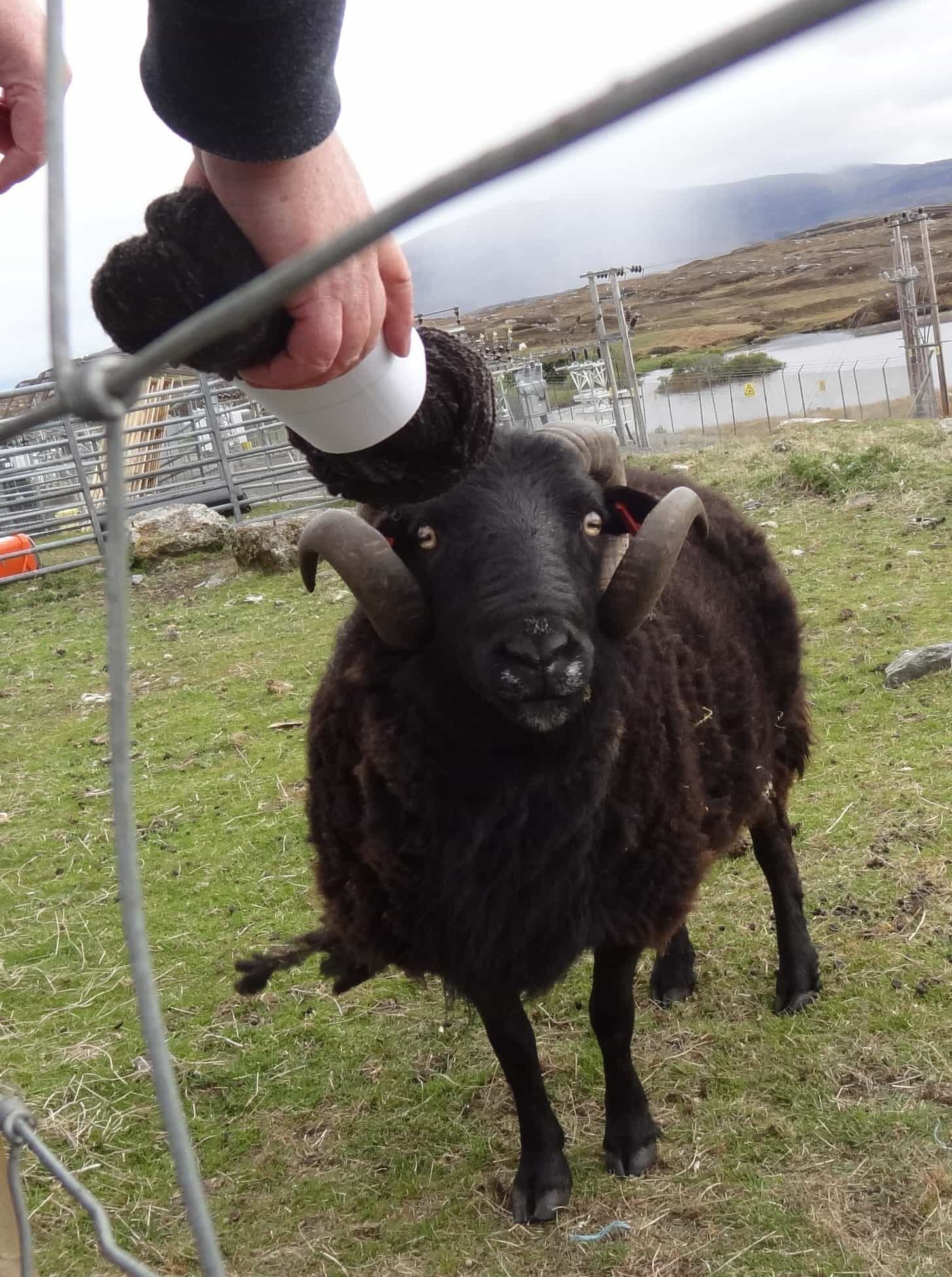 A Black Welsh Mountain Ram in a field looks at a skein of yarn made from his fleece